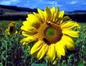 Feld voller Sonnenblumen