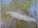 Fliegenfischen in der Kyll bei Hillesheim