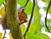 Futterndes Eischhörnchen im einer Baumkrone