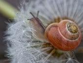 Kleine Schnecke in einer Löwenzahn Samenblüte