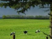Kühe auf einer Weide am Wollenberg