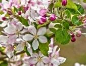 Obstbaum in voller Blütenpracht