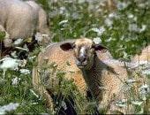 Schafe in der Blumenwiese