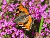 Schmetterling in Blütenpracht