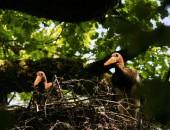 Zwei Schwarzstörche bei Dalem auf einer alten Eiche